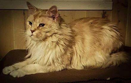 KAN MULIGENS KOMME HJEM: Katten Leo – nå kalt Ole – som var cippet i Moss og funnet nord i Sverige kan muligens bli gjenforent med sin første eier som nå bor i Tromsø.