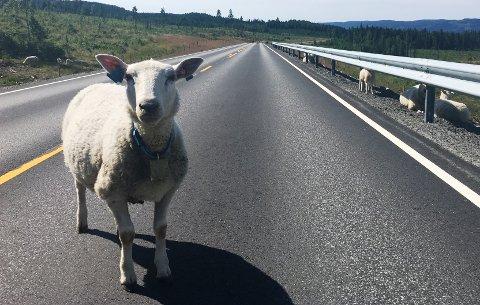 SAU I VEIEN: Nye Fylkesveg 247 skulle bli sauefri, noe den foreløpig ikke er.
