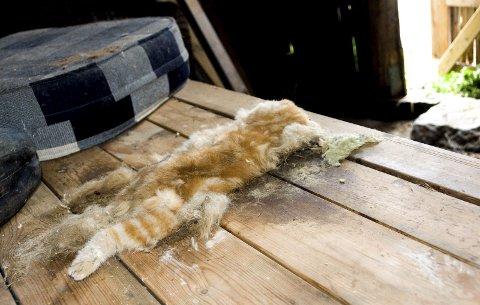 KADAVER: Dette katteliket ble funnet på et bord inne i uthuset på eiendommen i Hovland-området. Et annet sted i uthuset ble ytterligere et kattekadaver funnet.