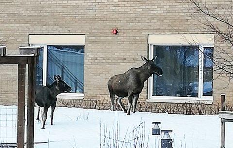 Ei elgku og en elgkalv skapte god stemning da de gjestet sansehagen ved Selfors sykehjem fredag formiddag.