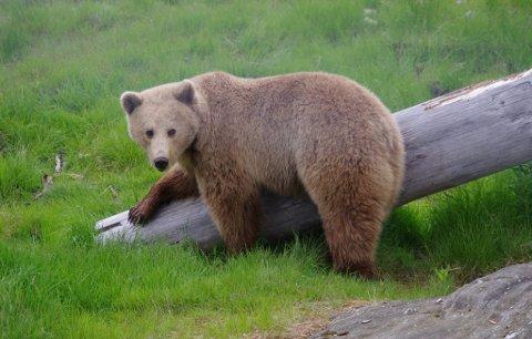 Illustrasjonsfoto, bjørn i park i Namsskogan.