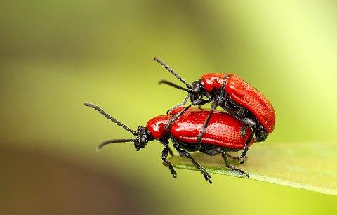PRODUKTIVE: Livet til liljebillene består stort sett av mat og sex, noe som går hardt ut over liljene til hageeierne som har fått besøk av denne vakre billen.