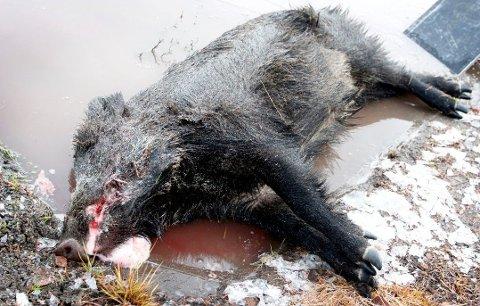 FØRSTE FYSISKE BEVIS: En galte på rundt 60–70 kilo ble påkjørt og drept på E16 ved Skinnarbøl natt til fredag 10. november 2017. Nå samles skognæringen, grunneiere og jordbrukere seg til et tverrfaglig seminar.FOTO: Henrik Holter