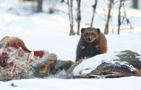 FÆRRE: Rovviltnemnda i Nordland synes det er for mange rovdyr i fylket. Det er ikke Naturvernforbundet enige i. IllustrasjonsFoto: Steinar Myhr