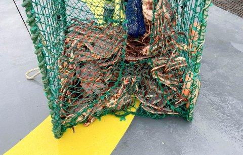 LØNNSOMT: I Øst-Finnmark er kongekrabbene lett tilgjengelige, og når prisen på krabbeklør er på 400 kroner kiloet på det svarte markedet, så er det lett å bryte loven. Kystvakten sier at det ikke krever store ressursene å fiske etter krabbene, man får gode fangster og de er lett omsettelige,