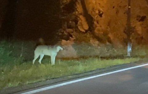 SØKER IKKE: Verken viltnemnda i Kragerø eller sauebonden søker fellingstillatelse etter at ulv drepte en vær i Dobbedalen lørdag.