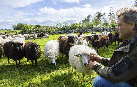 Kopplammene på Løvall søndre er fortsatt tamme og synes det er deilig å bli klødd bak øret. Dag Løvall synes det er viktig at sauene får godt stell og menneskekontakt, selv om de beiter ute hele året.
