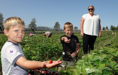 LIKER Å PLUKKE: Lukas, til venstre, og Mats Grønaker Midtskogen trives i jordbæråkeren sammen med mamma Susann.