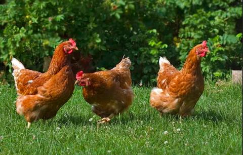 HØNER: Skal du finne en høne i Asker må du gå på museum. Høner på Asker Museum.