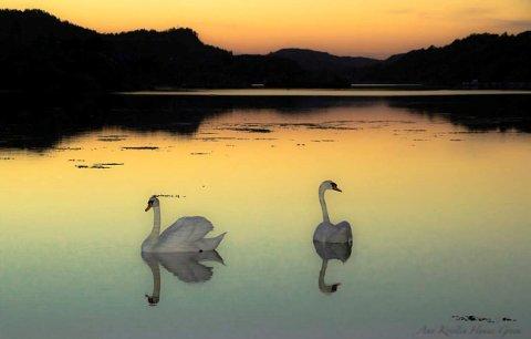 SVANEKVELD: Ann Kristin Hynne Green er fotografen bak vakkert bilde av svaner i  kveldstemning. Ann Kristin er ukesvinner.