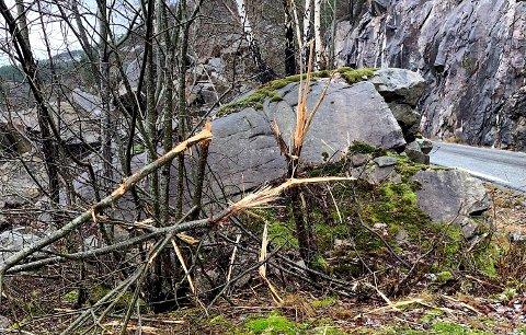 KNEKTE TRE: Småskogen langs Jøsenfjordvegen var felt høgt over bakken, og mange av trea var berre knekte.