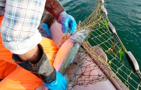 Det blir innstramminger i fiske med faststående redskaper, slik som kilenot som man ser på dette bildet.