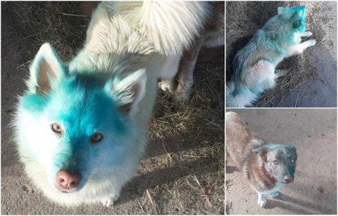 GRØNNE: Hundene Katla og Píla (nederst til høyre) fikk en høyst ufrivillig makeover.