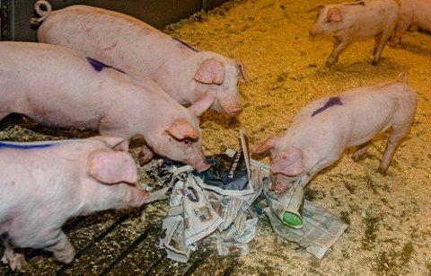 POPULÆRT I BINGEN: Ås Avis er populær kost for grisene på gården til Kjell Skuterud