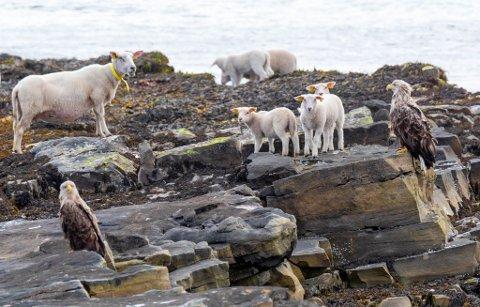 BLINKSKUDD: Arano Sundgren tok tidligere dette bildet av sau, lam og havørn i skjønn forening på Ekkerøy i Vadsø kommune.