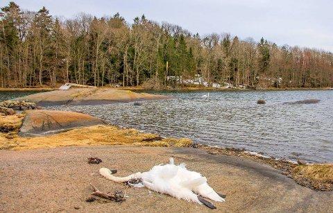 Denne svanen lå død på Vikerøya mens maken forsøkte å få kontakt fra vannet.