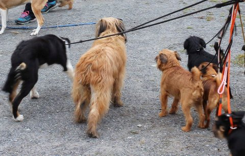 HOLDE STYR: Fra og med i dag opphører den generelle båndtvangen, men i over 200 kommuner i Norge er det fortsatt områder der hunden må gå i bånd. (Illustrasjonsfoto: Eli Bondlid, Bygdeposten)