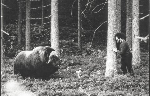 GIKK I DEKNING: Østlendingen-journalist Knut Bjørnstad tok dette bildet av moskusoksen som skapte stor ståhei i Løten høsten 1974. Her er det Ola Reiersen som søker tilflukt bak et tre i Nordbygda. Historien er med i Lautin 2018.