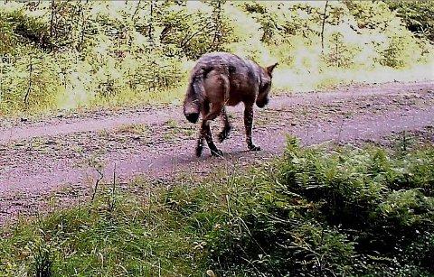 NORDRE ELVERUM: Ulv på vandring nord i Elverum i slutten av august i år.  Bildet er tatt på viltkamera.