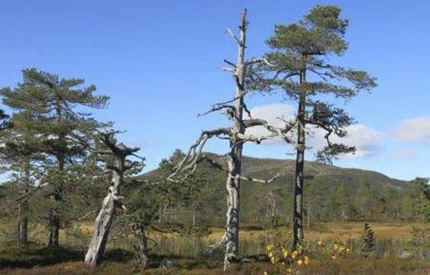 Gammel, glissen furuskog er ganske vanlig på Vikerfjell. Det gir et landskap som er vakkert, åpent og innbyr til turer både sommer og vinter.