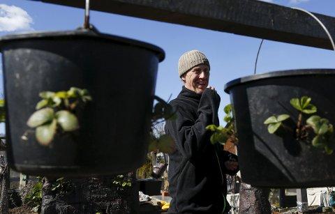 Godt for ryggen: Her kan Ivan Røsstad høste uten å bøye ryggen for mye. Alle foto: Alf-Robert Sommerbakk