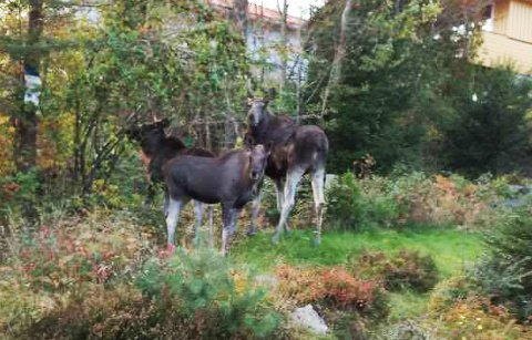 KIKKET PÅ JEGEREN: De fire elgene – tre av dem foreviget her – var nysgjerrige på Einar Lande. Hadde de visst at han hadde 40 års erfaring som elgjeger, hadde de kanskje fått det mer travelt.