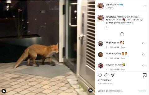 Videoen som musikeren Kim Ofstad publiserte på Instagram søndag kveld, viser reven som rusler rundt midt i Oslo sentrum.