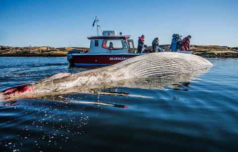 STRANDET: Denne finnhvalen strandet på Hvaler i 2015. Spådommen om hvaloppdrett slo ikke til.
