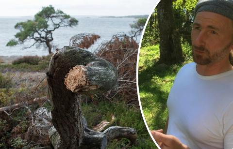 Dette furutreet i Torsnes et ett av mange som er skamfert av hogst, trolig til bålbrenning.  – Det må bli slutt på hugst både av de døde og levende delene av trærne, sier Bjørn Frostad.