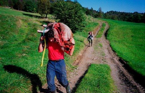 FIKK HELIKOPTERLØYVE: Hjortejakt i bratte vestlandslier. Det er et slit å få kjøttet til bygds, og ofte må slaktet deles for å få det med seg. Til høstens jakt får et jaktlag i Etne lov til å bruke helikopter til å frakte ut byttet. Arkivfoto: Gunnar Lier / SCANPIX