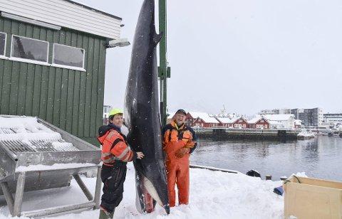 Spesiell fangst: Einar Pedersen og båten Våglaks fikk en fangst utenom det vanlige da de skulle dra opp fiskegarnet onsdag morgen.foto: benjamin diseth (Foto: Benjamin Diseth)