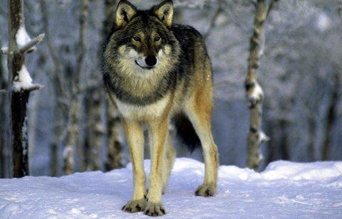 Sier nei: Artikkelforfatteren påpeker at ulven ikke er truet og at den ikke hører hjemme i vårt distrikt. Foto: Arne Nævra/ Scanpix