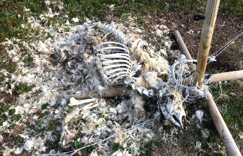 KADAVER: Det var bare beinrester igjen av kadaveret som hadde viklet seg inn i gjerdet ved Mjelde på Kvaløya.