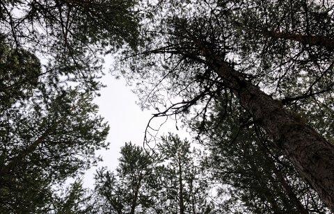 NYTT SKOGSALG: En skogeiendom øst for Kynna er nettopp solgt. Illustrasjonsfoto: Nils Henning Vespestad