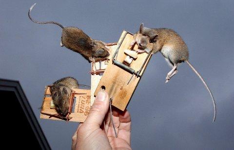 SKADEDYR: I år er det masse mus. Du kan selv begrense problemet.