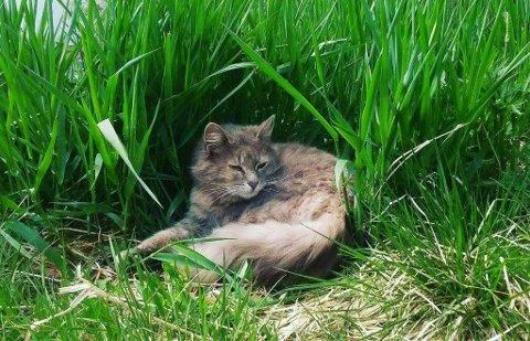 POLITIMELDT: Eigaren av denne katten har meldt Dyrebeskyttelsen til politiet for brot på dyrevernlova. Dette er eit litt eldre bilde av katten.