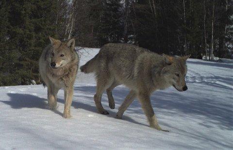 Nå kan lokale folk søke om midler som skal dempe ulvekonflikten - det kan dreie seg om kompensasjon av ulikt slag, tilskudd til informasjon og kunnskapp om ulv, eller gps-målere og vester for hund, for å nevne noen eksempler.