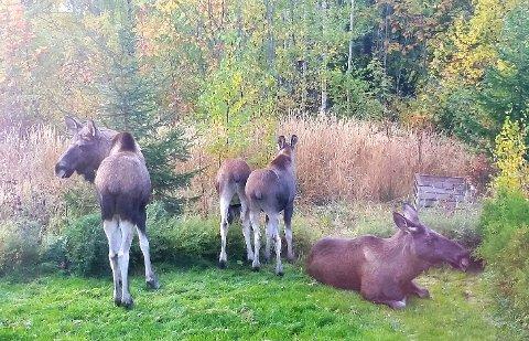 ELGBESØK: Denne gjengen slo seg ned i en hage på Måsåhaugen.