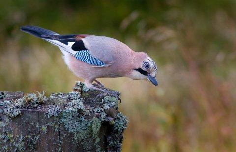 Nøtteskrike: Den mellomstore kråkefuglen er et vakkert innslag på fôringsplassen.