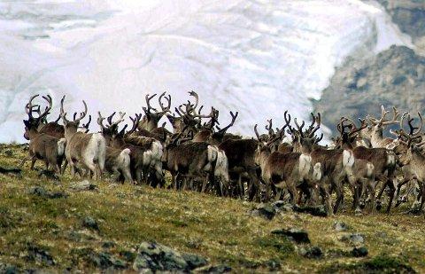 Naturvernforbundet i Oppland angriper Ringebu kommunes arealpolitikk, og mener den truer villreinen.
