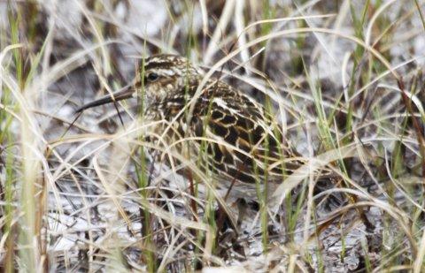 SJELDEN GJEST: Fjellmyrløper er en svært sjelden hekkefugl som igjen blir observert på Fokstumyra på Dovrefjell.