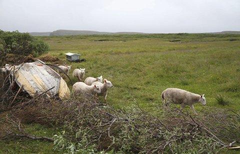 SAU PÅ BEITE: Det er mange sauer på beite for tiden i Øst-Finnmark. I Neiden har ei ung binne tatt livet av flere sauer. Illustrasjonsfoto