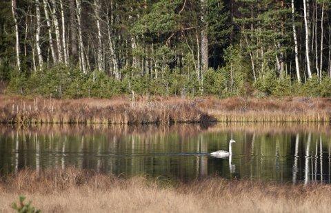 Denne svanen var tidligere en del av en familie, men er tilsynelatende blitt forlatt i Eidsdammen på Bjørkelangen.