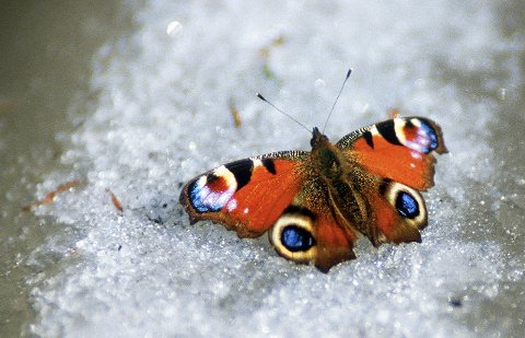 Overvintret: Sommerfuglen Dagpåfugleøye kan du være heldig å se om våren da den overvinter som voksent insekt.