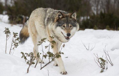 VIL GI FELLINGSTILLATELSE: Totalt foreslår rovviltnemdene å felle 20 ulv til vinteren.
