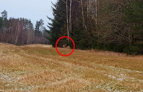 INN I SKOGEN: Gunnar Sten Johansen knipset dette bildet like ved sportsplassen på Ise tirsdag ettermiddag. Han er sikker på at det ikke var en hund han så.