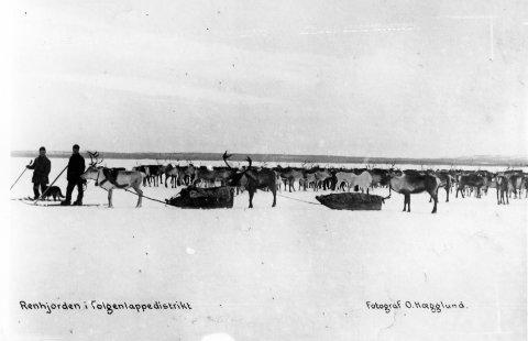 REINDRIFT: Fotograf O. Hægglunds bilde av «renhjorden i Tolgen lappedistrikt» er brukt som illustrasjon til museets foredragskveld om samer i Nord-Østerdalen.
