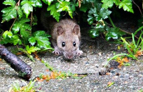 VIL INN TIL DEG: Rotter trives der det er mennesker og dermed også tilgang på mat. Og er det først blitt en fast rottebestand et sted, vokser den fort og sprer seg til nabolaget.