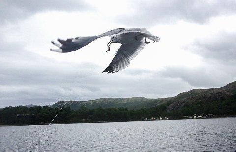 FAST FISK: Det nappet godt i søret da måka satte nebbet i fiskekroken. Foto: Vidar Heitkøtter