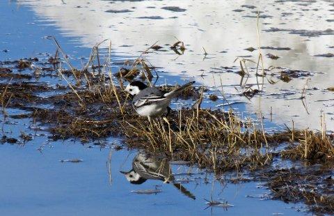 LINERLA: At trekkfuglen linerla er tilbake er ett av de sikreste tegnene på at våren er i anmarsj.  Dette bildet er tatt i Lunner 10. april 2018.